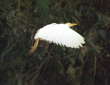 02_Cattle_Egret