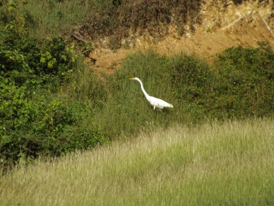 03_Great_Egret