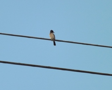 06_Kingbird