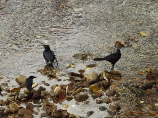 10_Grackle_Group
