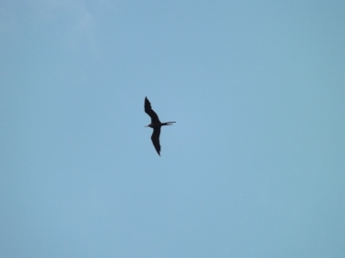 11_Frigatebird