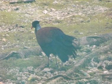 16_Pheasant_pigeon_Otidiphaps_nobilis