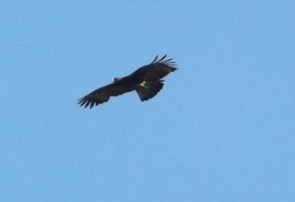 17_Gurney_Eagle