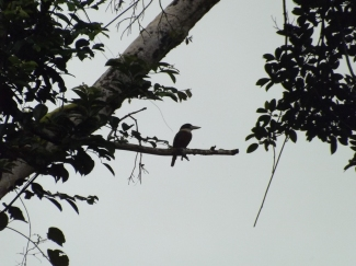 37_Rufous_bellied_kookaburra