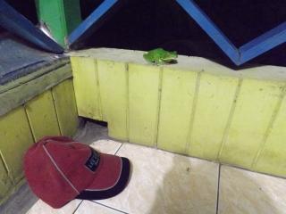 Amphib_tree_frog_1a
