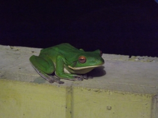 Amphib_tree_frog_2b