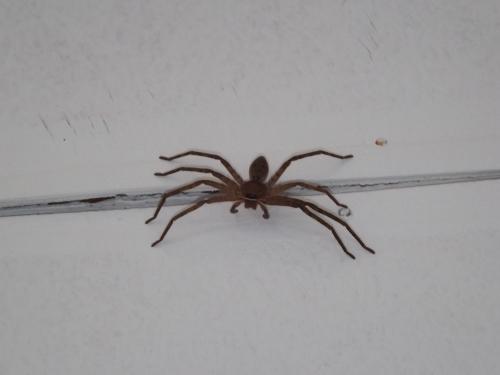 Arachnid_Huntsman