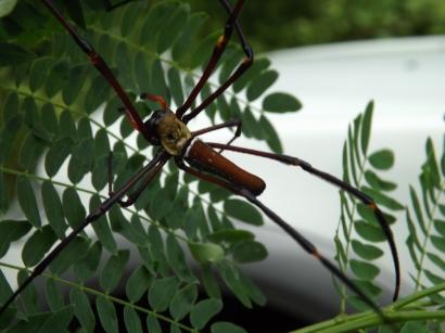 Arachnid_Nephiles_1a