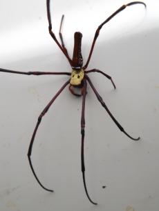 Arachnid_Nephiles_2b