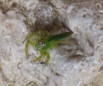 Arachnid_Salticid_1a