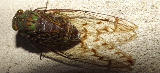 Insect_Cicada_1a
