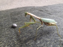 Insect_Mantis_2a