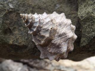 Marine_gastropod_1b