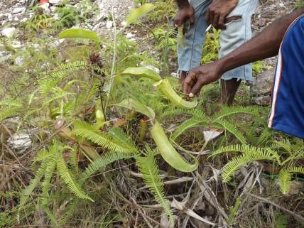 Plant_pitcher_1a