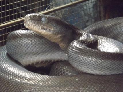 Snake_Boelen_2c