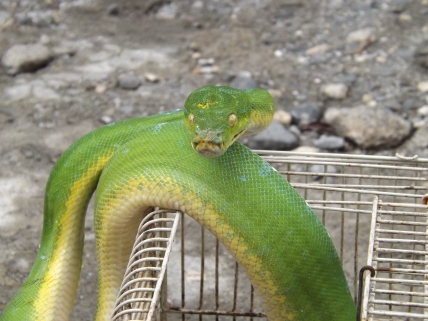 Snake_Yapen_boa_2a