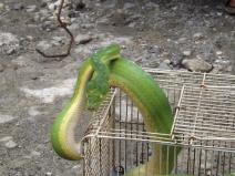 Snake_Yapen_boa_2b